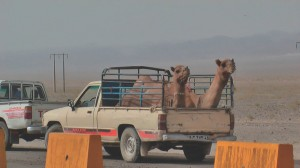 Camel transport in Iran
