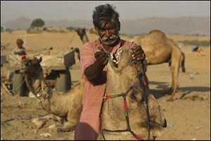 Pushkar Camel Fair, feeding time
