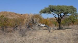 Mopane and Acacia trees