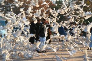 White pigeons, Mazar-e-Sharif, Afghanistan