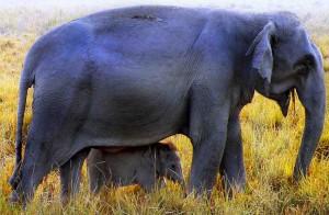 Elephant at Kaziranga National Park