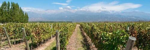 The vineyards of Mendoza