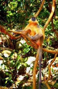 Langur Monkey, Kaziranga National Park