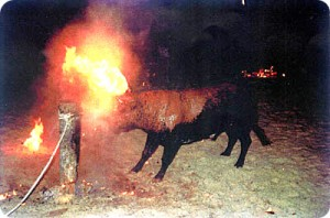 The Fire Bull Festival. Pic: Faada