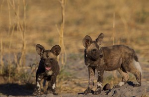 African painted wild dog puppies, Selinda Reserve Botswana