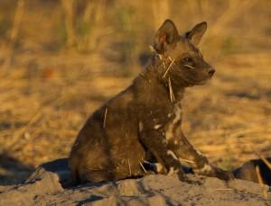 African painted wild dog puppy, Selinda Reserve, Botswana
