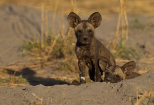 African painted wild dog puppy