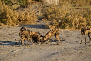 African painted wild dog eating