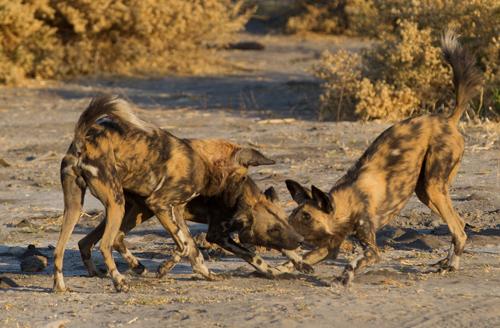 African painted wild dog, Selinda Reserve, Botswana