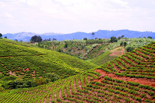 Ugandan tea plantation