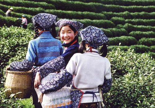 Tea pickers, near Hangzhou, China