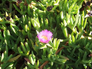 Iceplant flower, Coronado
