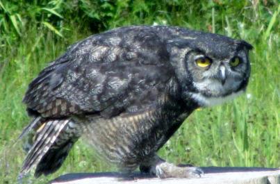 Horned owl on Grouse Mountain