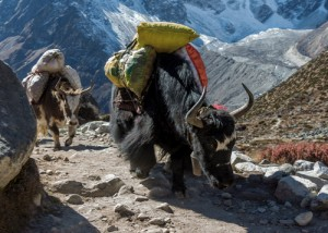 Yak carrying equipment, Nepal Himalayas