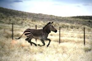 Zebra fenced in