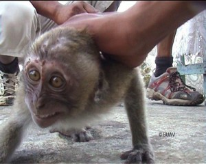 Macaque monkey being handled