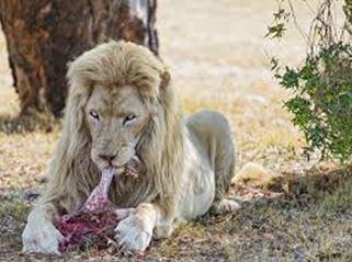 Johannesburg's white lions