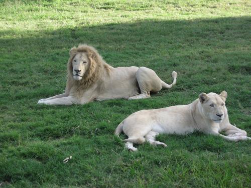 White lions of Johannesburg