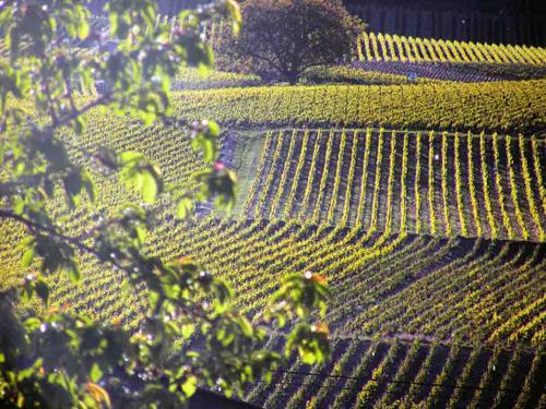 Mancy vineyards, Champagne, France