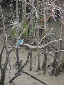 Bird, Sunderbans