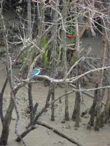 Bird, Sunderbans