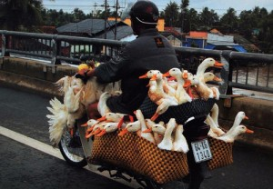 Scooter carrying geese