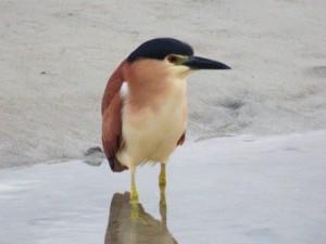 Rufous night-heron