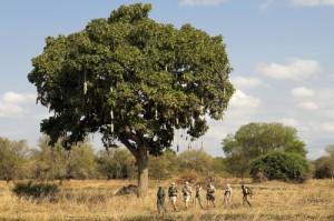 Suusage tree, Luangwa