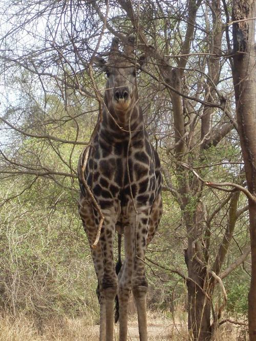 Giraffe, Malawi