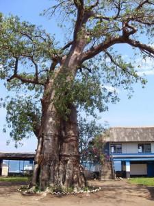Tree, Malawi