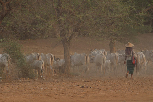 Herding cattle, Burma