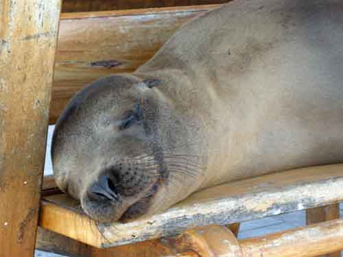 Seal on seat, Galapagos