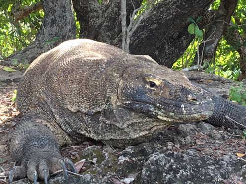 Komodo Dragon, Flores, Indonesia