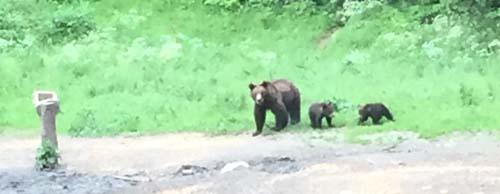 Bear territory, Transylvania