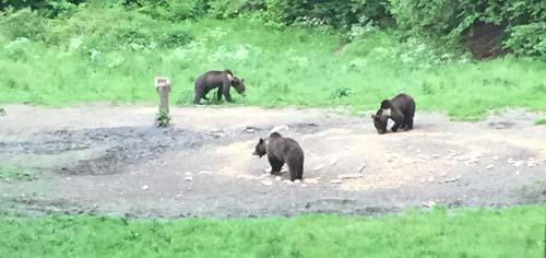 Bears, Transylvania