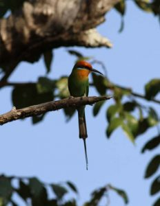 210816Bohms Bee eater from chalet (3) - Copy