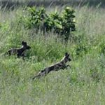 wild dog in the bush