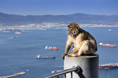 A Barbary ape on the Rock of Gibraltar