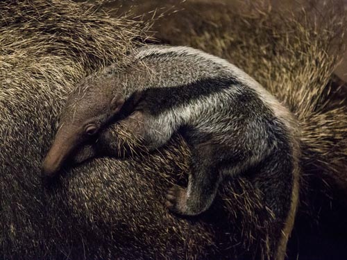 newborn giant anteater