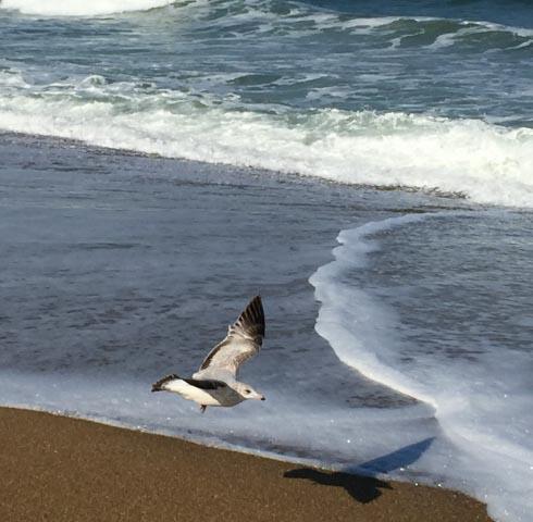Seagull, Carolina