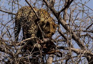 Leopard in tree, Botswana