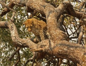 Leopard up tree, Botswana