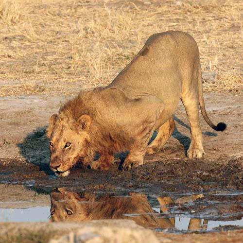 Lion drinking, Botswana