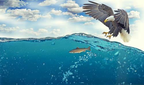 White-tailed eagle, fishing