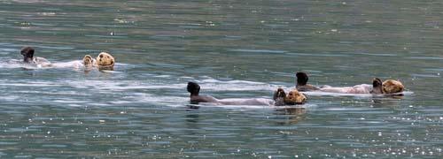 Sea otters, the Gold River, Canada