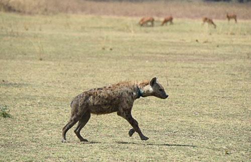 Hyena, South Luangwa